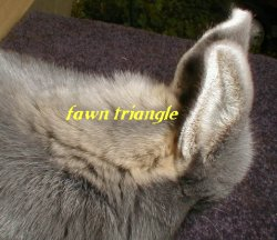 picture showing fawn line between blue side and cream belly